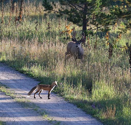 Fox&Buck_small
