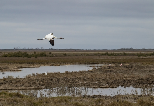 whooping-crane-in-flight_40054351452_o
