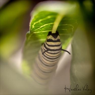 Caterpillar01_sig.jpg