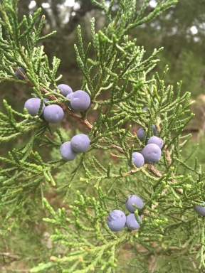 Female Ashe Juniper with Berries