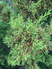 Male Ashe Juniper