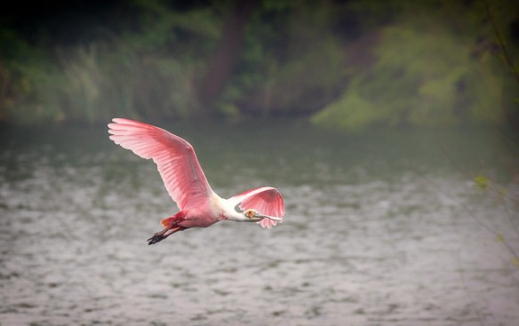 Roseate Spoonbill - photo by H. Valey