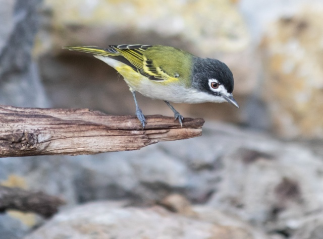 BlackCappedVireo-HValey 2019