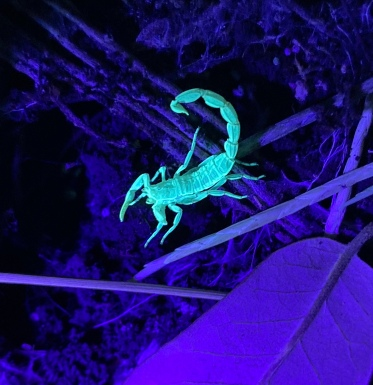 Blacklit Bark Striped Scorpion