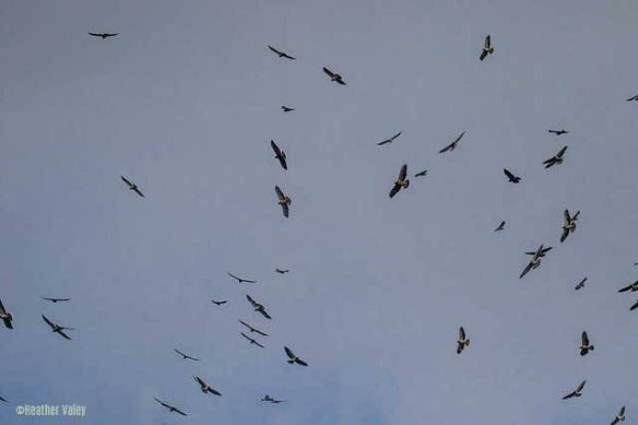 Swainsons Hawks Migration
