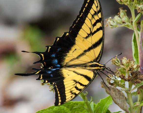 Swallowtail_vivid