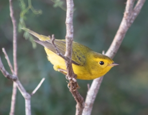 Yellow Warbler at Kickapoo Cavern State Park © Heather Valey 2019
